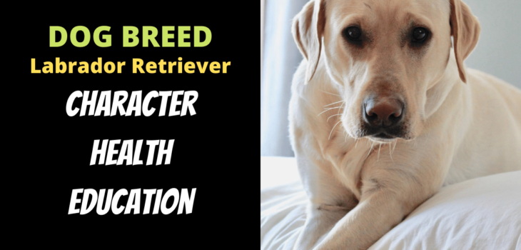 Dog Breed Labrador Retriever Character, Education and Health