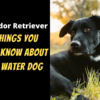 Labrador Retriever 5 Things You Must Know About This Water Dog