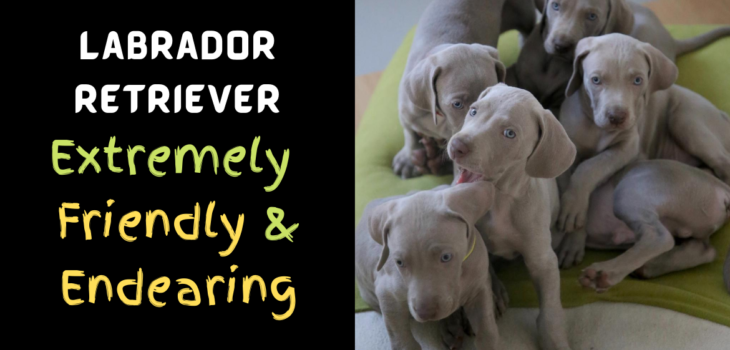Labrador Retriever Extremely Friendly And Endearing