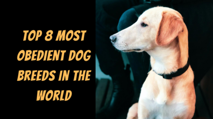 Top 8 Most Obedient Dog Breeds in The World